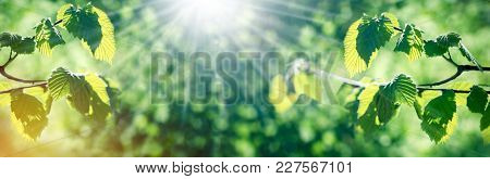 Young Spring Leaves Lit By Sunbeams - Sun Rays
