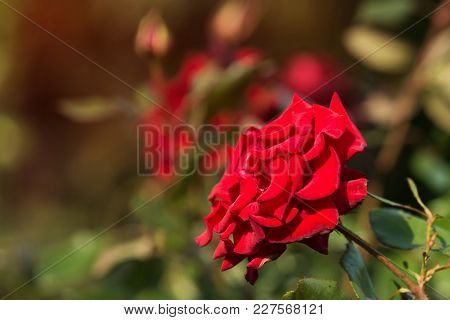 Flowers Of A Red Rose In A Flowerbed, Selective Sharpness, Close-up