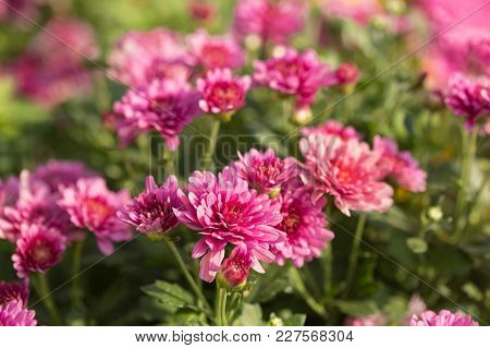Chrysanthemum, Many Lilac Flowers In The Open Air, Selective Sharpness, Close-up