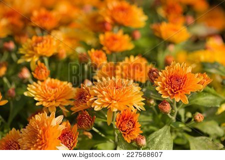 Chrysanthemum, A Lot Of Yellow Flowers In The Open Air, Selective Sharpness, Close-up