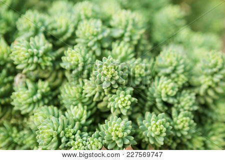 Green Succulents On The Open Ground Form A Living Texture, Selective Sharpness