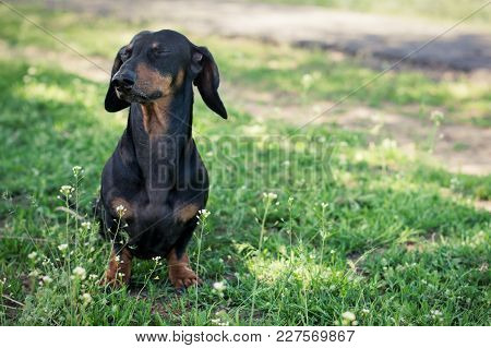 Dog Breed Dachshund,black And Tan, Closing His Eyes, Walking  In The Summer In The Park