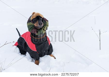dog, dachshund, black and tan, in clothes (sweater) and hat, playing on a snowy meadow