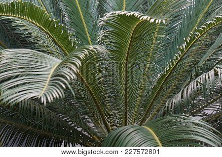 Sago Palm (cycas Revoluta). Called King Sago, Sago Cycad And Japanese Sago Palm Also