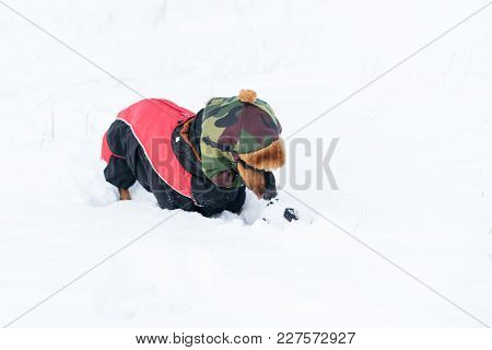 Cute Dog (puppy), Breed Dachshund Black Tan,in Clothes In A Hat Playing With A Ball On  The Snow