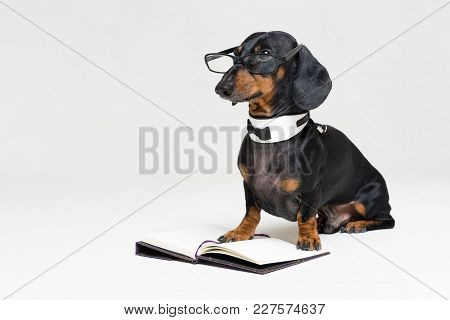 Cute Dog Dachshund, Black And Tan, In A Bow Tie And Glasses Reading A Book, Isolated On A Gray Backg