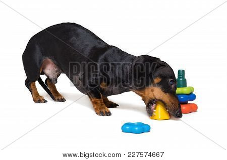 Dog Puppy Dachshund, Black And Tan, Playing Pyramid Toy, Isolated On White Background