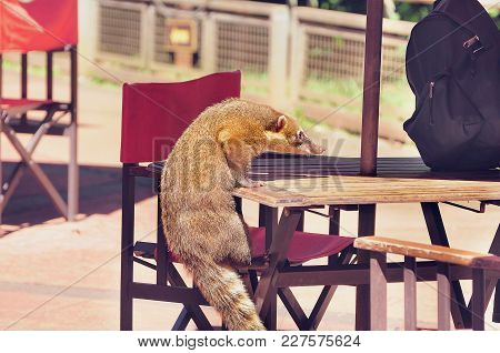 South American Coati Nasua Nasua Tries To Climb The Table In The Street Cafe.