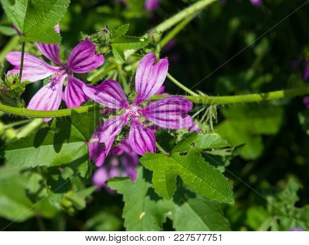 Blooming Common Or High Mallow, Malva Sylvestris, Flower In Grass Close-up, Selective Focus, Shallow