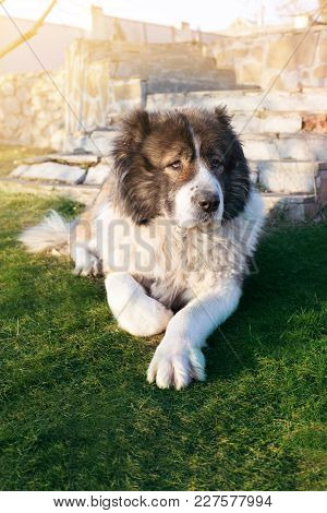 Fluffy Caucasian Shepherd Dog Is Lying On A Green Grass