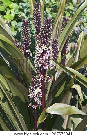 Pineapple Lily Flowers