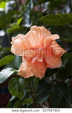 Vertical Close Up Of A Fully Boomed, Vibrant Orange/pink Cream Hibiscus, With Green Foliage. Montrea