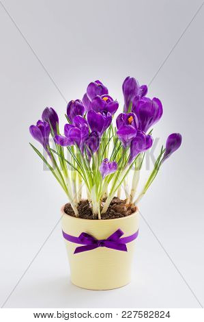 Violet Crocus In Yellow Pot With A Ribbon. Isolated. Spring Or March 8 Postcard Concept.