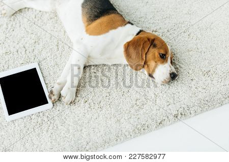 High Angle View Of Cute Beagle Lying On Carpet With Tablet