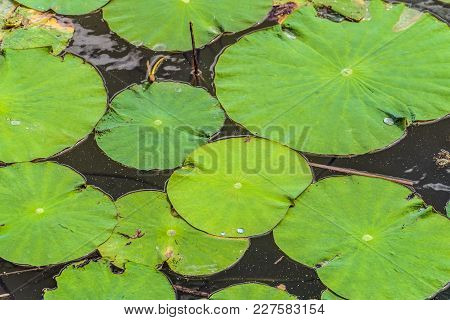 Non-wetted Green Leaves Of Wild Lotus On The Water Surface Of The Lake