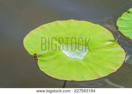 Non-wetted Green Leaf Of Wild Lotus On The Water Surface Of The Lake. Natural Background.