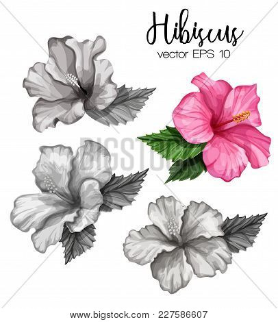Hibiscus Flower Set Pink Monochrome Blooming Blossom With Leaves. Realistic Detailed Hand Exotic Flo