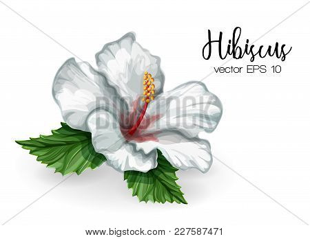 Hibiscus Flower. White Blooming Blossom With Green Leaves. Realistic Detailed Hand Drawn Exotic Flor