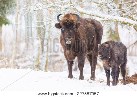 Large Brown Bisons Wisent Family Near Winter Forest With Snow. Herd Of European Aurochs Bison, Bison