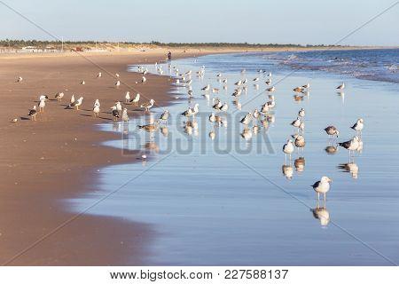 Flocks Of Seagulls Walk Along The Beach. On The Portuguese Shore.
