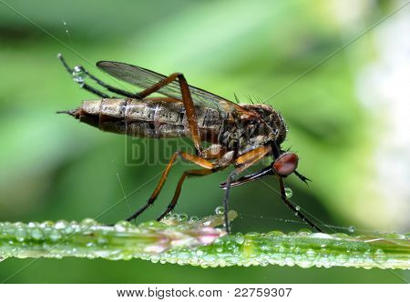 insect Empis tesselata sitting on dewy grass poster