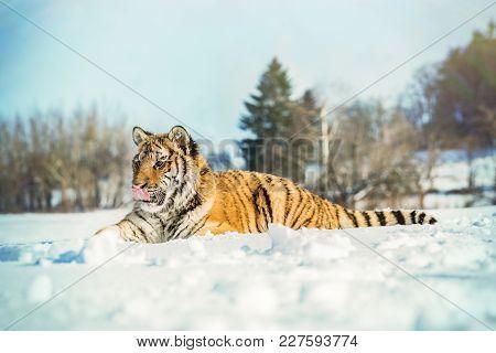 Tiger Portrait In Cold Winter. Tiger In Wild Winter Nature. Action Wildlife Scene, Danger Animal.. S