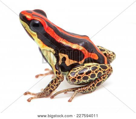 poison dart frog, Ranitomeya uakarii golden leg. A small Dendrobates species from the Amazon rain forest in Peru. This animal lives in tropical Amazon rain forest Peru. Isolated on white background
