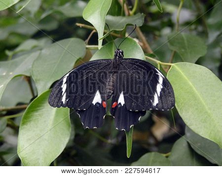 Black And White Butterfly Balancing On A Leaf
