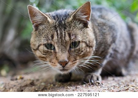 Striped Tabby Cat Looking Camera, Close To
