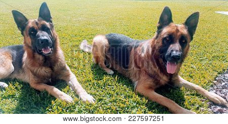 Two German Shepperds Lying In Attention Over Green Garden