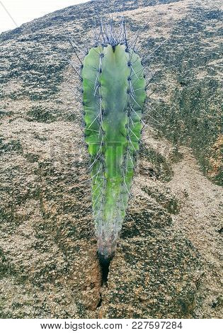 Green Cactus Emerging From The Rocks In Arid Site