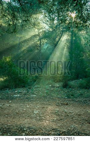 Sunrise With Sunbeams Illuminating The Pine Forest Floor