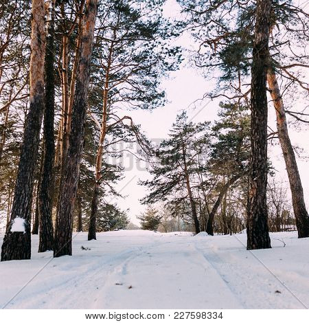 Pine Tree In The White Snow Cover Across The Winter Forest In Landscape View