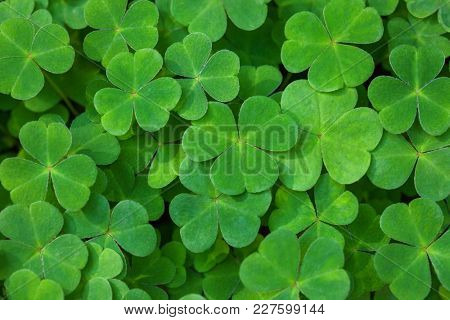 Green background with three-leaved shamrocks. St. Patrick's day holiday symbol.  Shallow DOF. Selective focus.