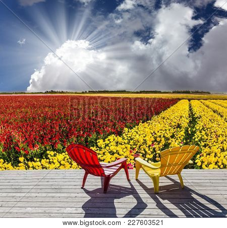 Red and yellow plastic reclining chairs stand next to the flower field. Farmer field for cultivation of garden buttercups - ranunculus. Concept of rural and ecological tourism