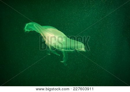 Green Toned Jellyfish In Dark Water. Marine Life In Toxic Color
