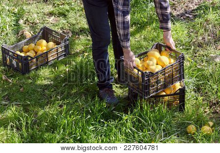 Agriculture. The Farmer Is Holding A Box With Lemons Of A New Crop.