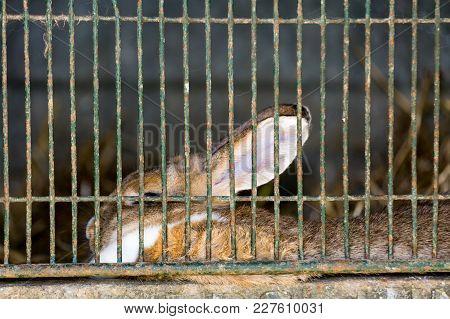 Rabbit In Farm Cage Or Hutch. Breeding Rabbits Concept Or Medical Search