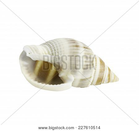 Conch Shall Isolated On White