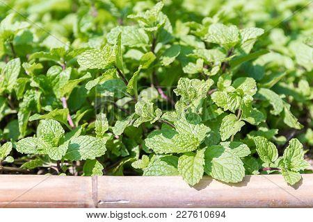 Peppermint Plant Grown In Vegetable Garden