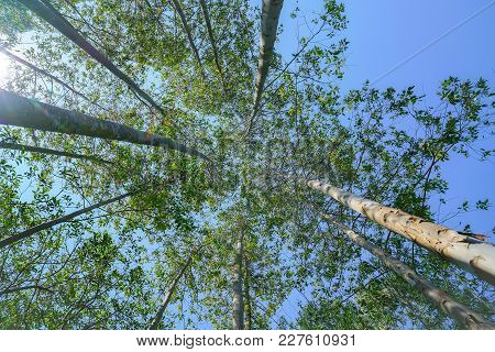 Tall Trees Rising Skyward Converging Skyward With Green Leaves Beyond Tall Tree-trunks.