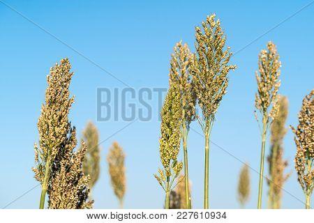 Sorghum Or Millet Agent Blue Sky