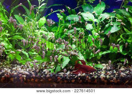 Malaysian Trumpet Snails Feeding On Soft Algae With Betta Fish Quietly Resting At The Bottom Of Aqua