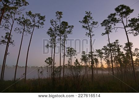 The Pine Tree In The Mist Of Lone Pine Key Campground In Everglades National Park, Florida.