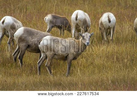 Bighorn Sheep In Wyoming; Ewes Grazing In Grassy Meadow