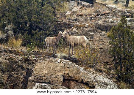 Bighorn Sheep On Rocks In Wyoming; Ewe With Yearling