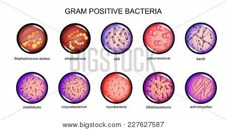 Vector Illustration Of Gram-positive Bacteria. Microbiology. Bacteriology