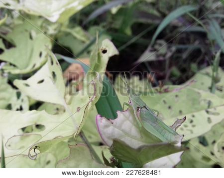 This Locust Looks Full After Eating The Leaves