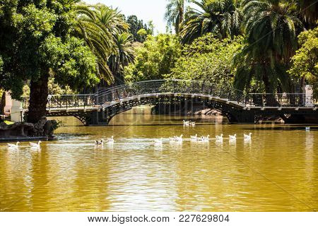 flock of geese in the park Buenos Aires