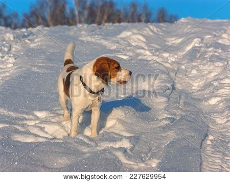 The Beagle Walking In The Snow. Puppy In Nature. Hunting Dog Walk Through The Field. Thoroughbred Pu